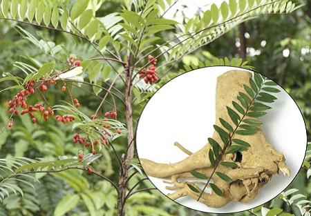 1. Dấu hiệu nhân biết cây mật nhân 1